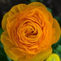Žlutý květ