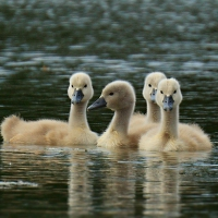 Labutí rodinka