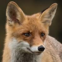 Liška obecná ( lišák)- v lidské péči