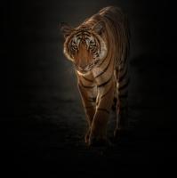 Tygr z temnoty