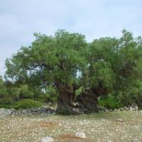 Stoletý olivovník