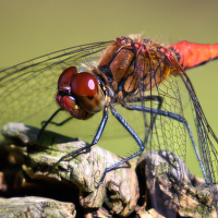 Vážka červená na pařezu