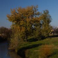 Osiky na břehu Svratky