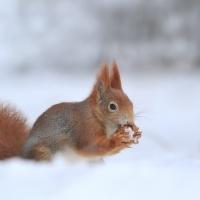 Zrzečka ve sněhu