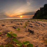 Kareta obrovská | Borneo