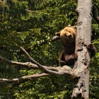 Medvědice
