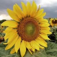 Sluničko slunečnicove