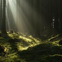 Ráno v lese II ...