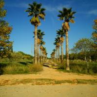 Palmová alej