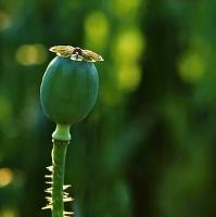 ....zelenáč.....
