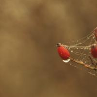 Šípková v pavučině