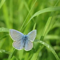 Modrý pán v trávě
