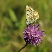 Rajský motýl
