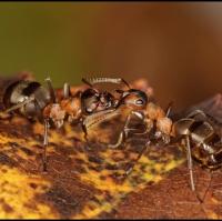 Trofolaxe mezi mravenci druhu Formica Rufa - Mravence Lesniho
