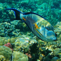 Acanthurus sohal - Bodlok rudomořský