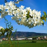 Jarní květ