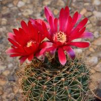 Gymnocalycium (červený květ)