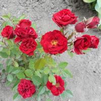 málá růžička