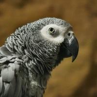 Papoušek šedý – žako (Psittacus erithacus)