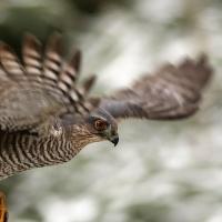 Krahujec obecný v letu