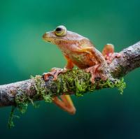 Rosnička   Borneo