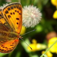 Ještě jeden pěkný motýl Ohniváček janovcový