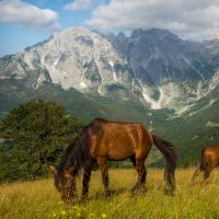 Kůň horský