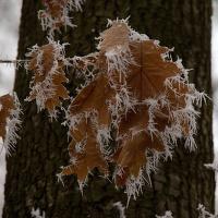 Omrzlé listí