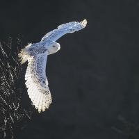 sovice sněžná (zvíře v lidské péči)