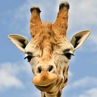 Žirafa Rothschildova 1
