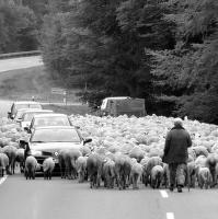 jedna ovečka,druhá ovečka,třetí......