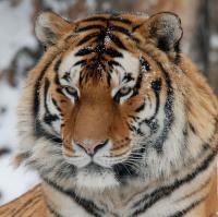 tygr ussurijský...
