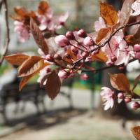 Růžovka