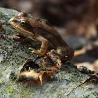 Žabka