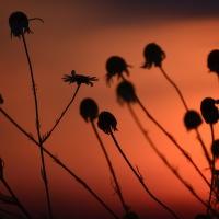 Květiny při západu slunce