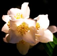 Květena plzeňská...