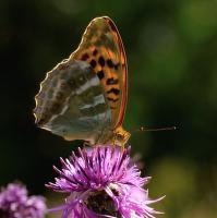 Perleťovec stříbropásek (Agrinnis paphia)