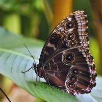 Soví motýl