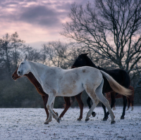 Zimní stádo