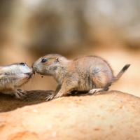 Bratrská láska   Psoun prériový