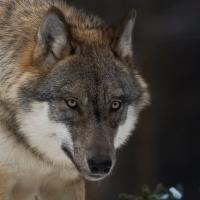 Den s vlky