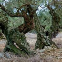 Olivovník (3)