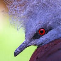 Korunáč červenoprsý