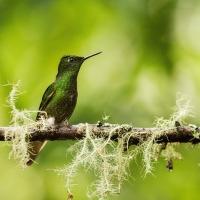 Kolibřík žlutoocasý