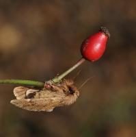 Hřbetozubec javorový