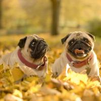 Mopsí podzim