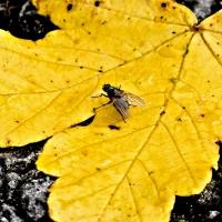 Barvy podzimu-Javorový list a moucha