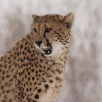 Gepard na molu