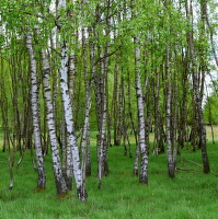 Břízky ve Slavkovském lese