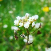 Bílý květina